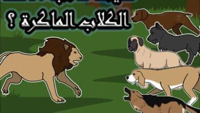 صورة ماذا حدث مع أسد وخمس كلاب قصة من قصص الحيوانات للاطفال